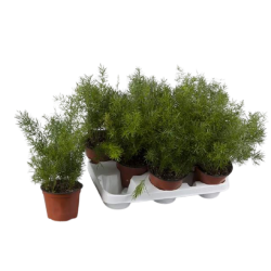 Asparagus densif sprenge