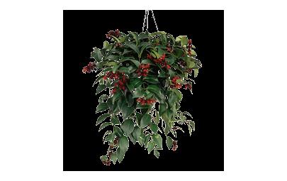 Aeschynanthus Monarda Lisa - Eszynantus