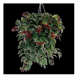 Kwiat doniczkowy Aeschynanthus Monarda Lisa