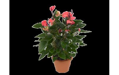 Anthurium An Pink - Anturium różowa