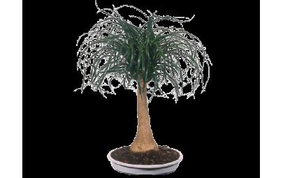 Beaucarnea Recurvata - Nolina wygięta - Małpie drzewko - Noga słonia