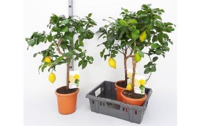 Citrus Limonium - drzewko cytrynowe, wysokość ok. 60 cm.
