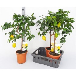 Kwiat doniczkowy Citrus Limonium
