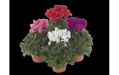 Cyclamen midi Sup Macro w kolorach czerwonym, różowym, białym i fioletowym.