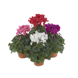 Kwiat doniczkowy Cyclamen midi Sup Macro
