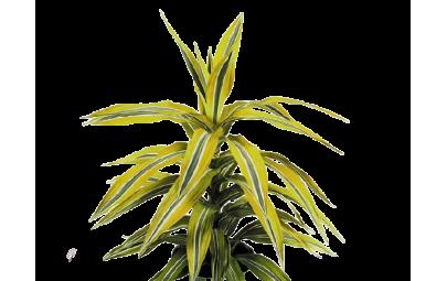 Dracaena De Lemon Lime - wysokość ok. 30 cm.