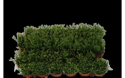 Rhipsalis Mixed - wysokość ok. 10 cm.