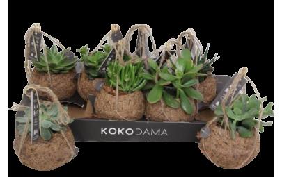 Koko Succulenten Mixed - wysokość ok. 15 cm.
