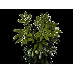 Kwiat doniczkowy Schefflera Ar Nora