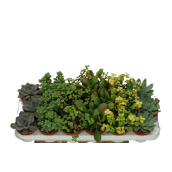 Succulenten Mixed - wysokość ok. 10 cm.