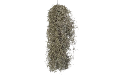 Tillandsia Usneoides - długość ok. 50 cm.