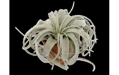 Tillandsia Xerograph - wysokośść ok. 18 cm.