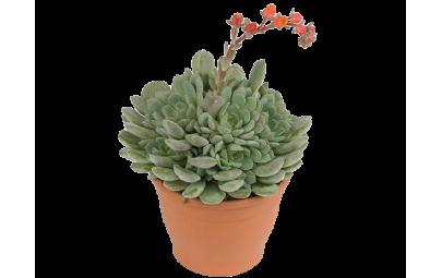 Echeveria Dondo - wysokość ok. 15 cm.