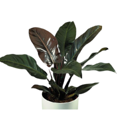 Philodendron Imperial Red - wysokość ok. 80 cm.