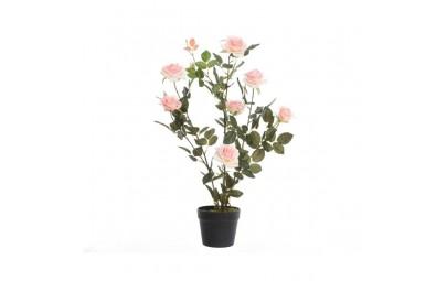krzew róża