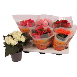 Begonia Du Rose