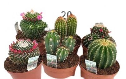 Kwiat doniczkowy Cactus Mixed