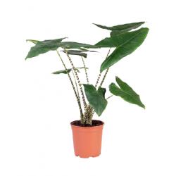 Kwiat doniczkowy Alocasia Zebrine