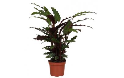 Kwiat doniczkowy Calathea Rufi Tropistar