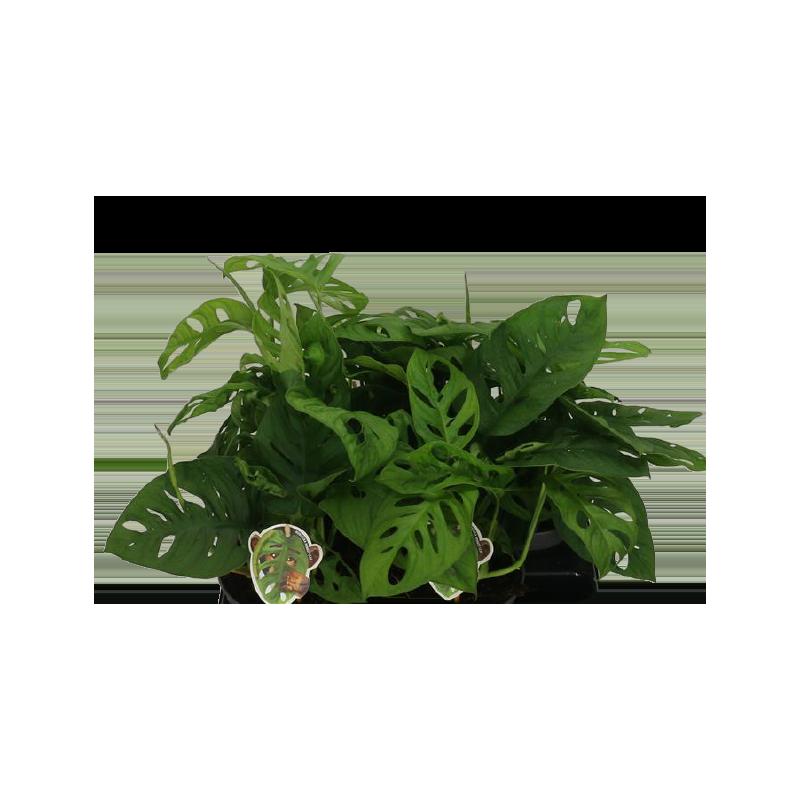 Kwiat doniczkowy Monstera Adansonii Monkey Leaf