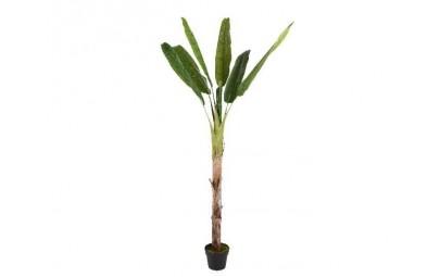 Bananowiec w doniczce 200cm