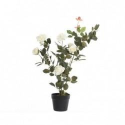 Róża krzew w doniczce biała...