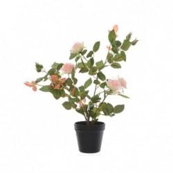 Róża krzew w doniczce jasno...